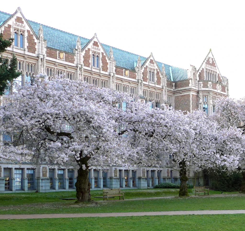Cherry blossoms outside Miller Hall